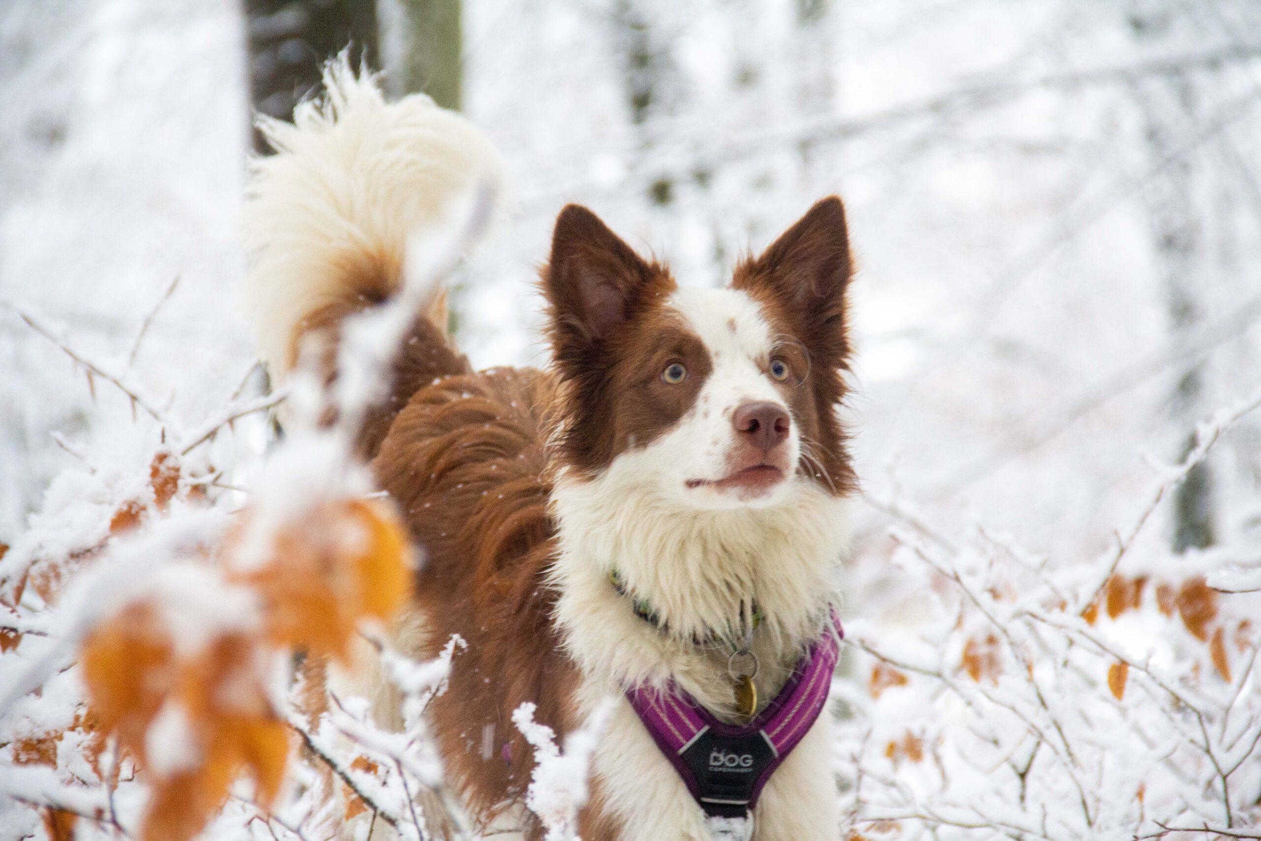 Yoko, née en 2020. C'est la toute première fois que j'accueille un chien d'un élevage. Ce fut une expérience inouïe de pouvoir tout démarrer à 0 ensemble. Son énergie inépuisable me donne du fil à retordre, et sa tendresse infinie cultive notre relation jour après jour.